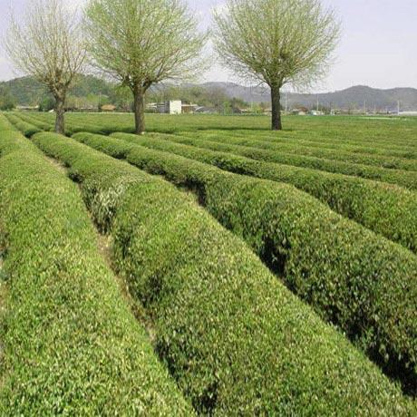 보성산 유기농 녹차가루300g